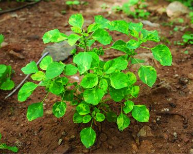 Acalypha indica Acalypha indica L Species India Biodiversity Portal