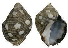 Acanthais brevidentata httpsuploadwikimediaorgwikipediacommonsthu