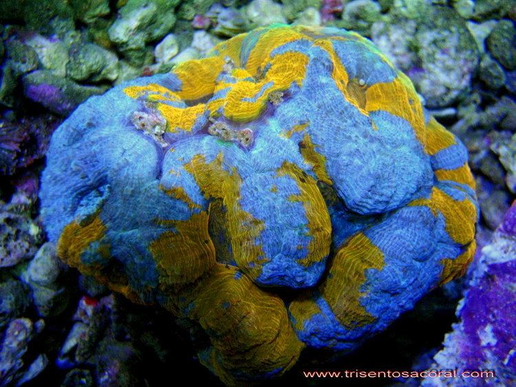 Acanthastrea bowerbanki Hardcoral lt Our collection Trisentosacoralcom