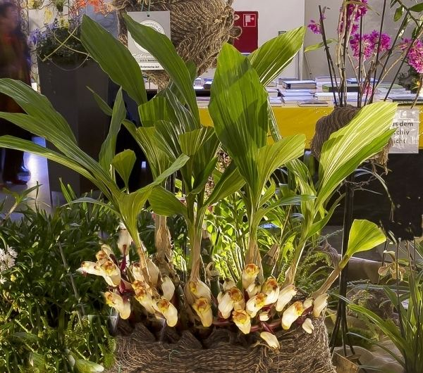 Acanthephippium Orchids Acanthephippium sylhetense