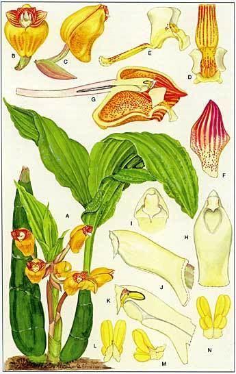 Acanthephippium mantinianum Acanthephippium mantinianum