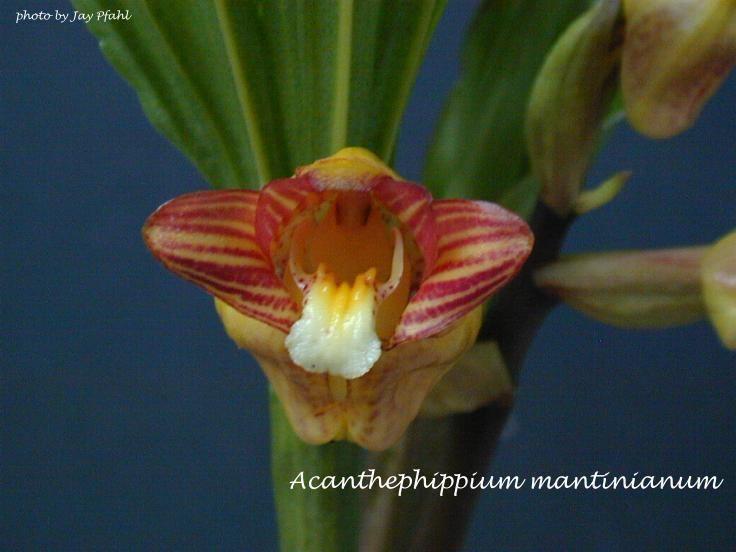 Acanthephippium mantinianum wwworchidspeciescomorphotdiracanthmantijpg