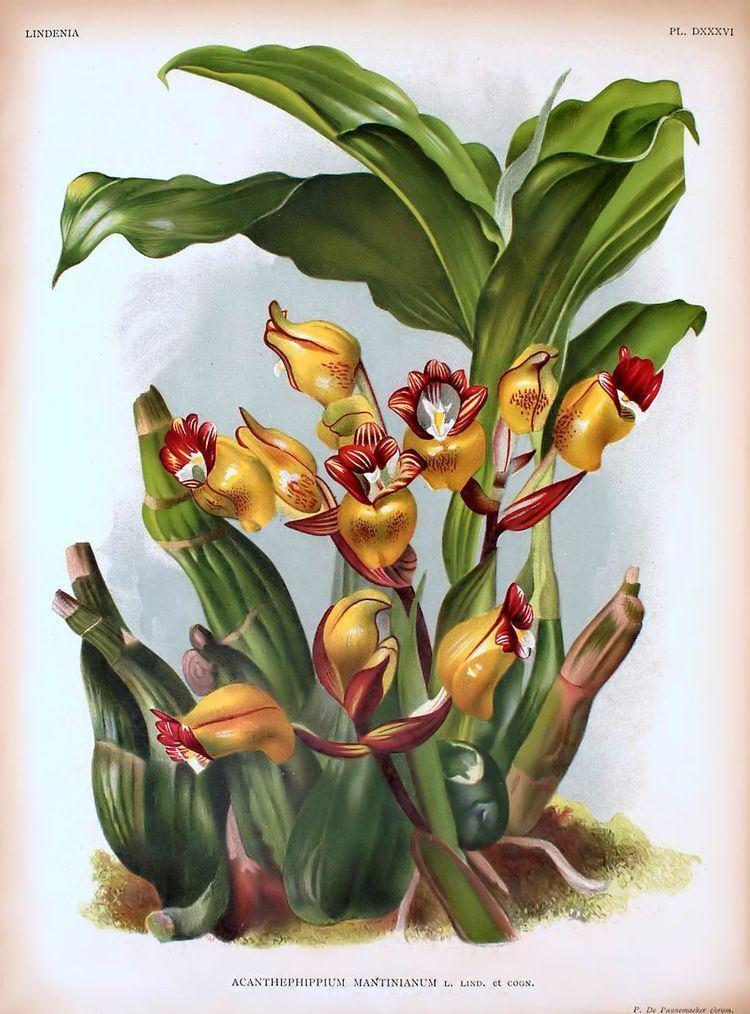 Acanthephippium mantinianum FileAcanthephippium mantinianum Lindenia plate 536jpg