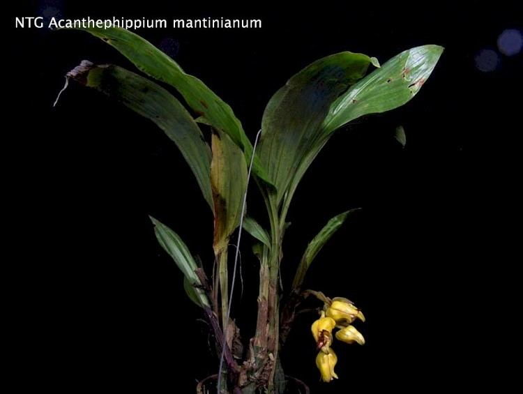 Acanthephippium mantinianum the fragrant ground orchid Acanthephippium mantinianum