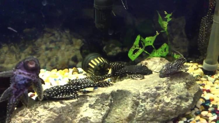 Acanthicus adonis L155 Polka Dot Lyretail Pleco Acanthicus Adonis For Sale YouTube