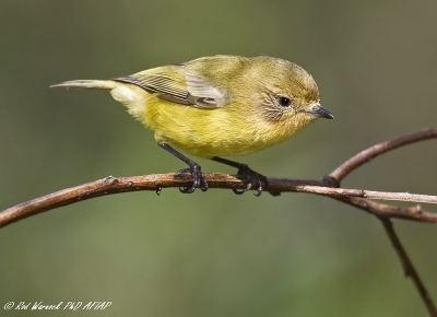 Acanthiza Rod Warnock Australian Bird amp Wildlife Photography Category Other