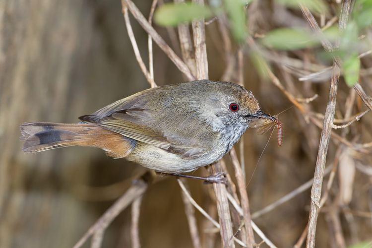 Acanthiza Brown Thornbill Acanthiza pusilla Hotspot Birding