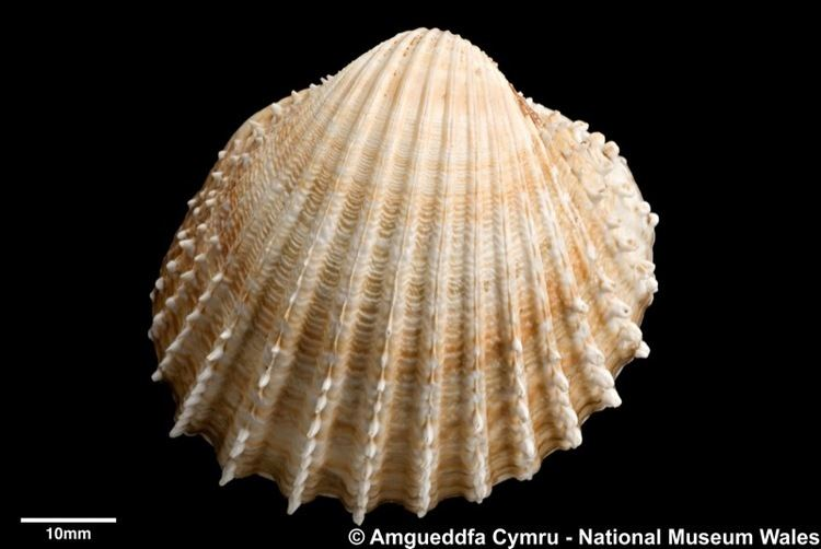 Acanthocardia Acanthocardia echinata Linnaeus 1758 Marine Bivalve Shells of