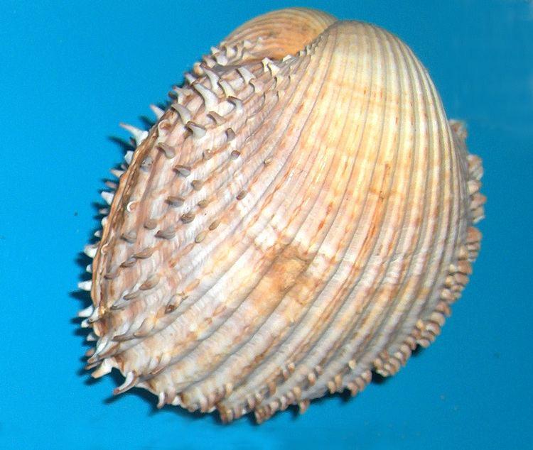 Acanthocardia Acanthocardia Wikipedia