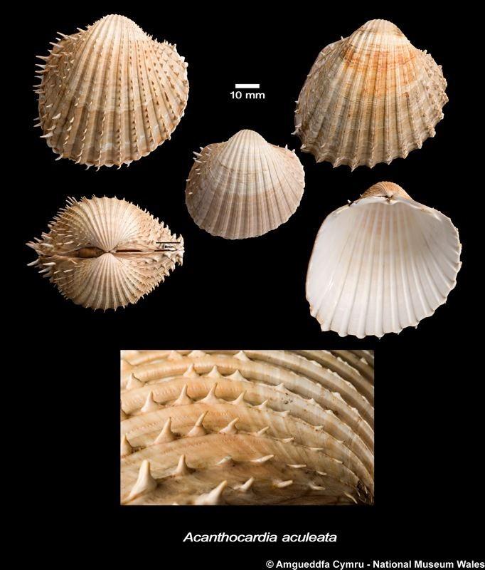 Acanthocardia aculeata Acanthocardia aculeata Linnaeus 1758 Marine Bivalve Shells of