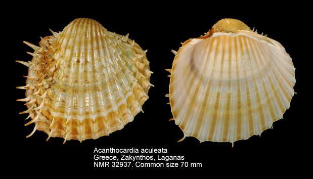 Acanthocardia aculeata HomeNATURAL HISTORY MUSEUM ROTTERDAM Mollusca Bivalvia