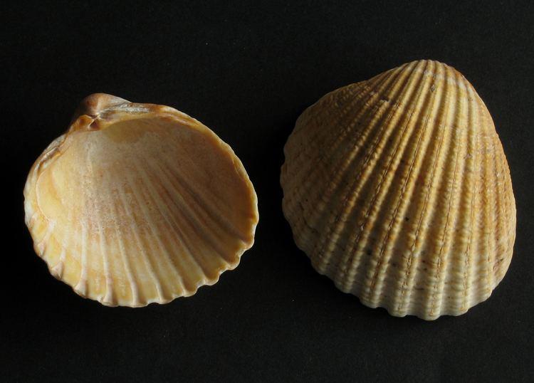 Acanthocardia FileAcanthocardia aculeata Herzmuschel 02jpg Wikimedia Commons
