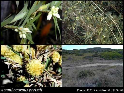 Acanthocarpus preissii httpsflorabasedpawwagovausciencetimage12