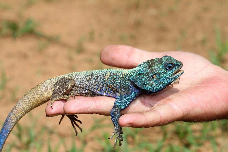 Acanthocercus atricollis Blacknecked Agama Acanthocercus atricollis iNaturalistorg