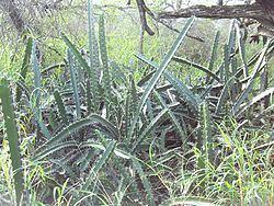 Acanthocereus Acanthocereus Wikipedia