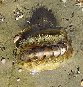 Acanthochitonidae httpsuploadwikimediaorgwikipediacommonsthu