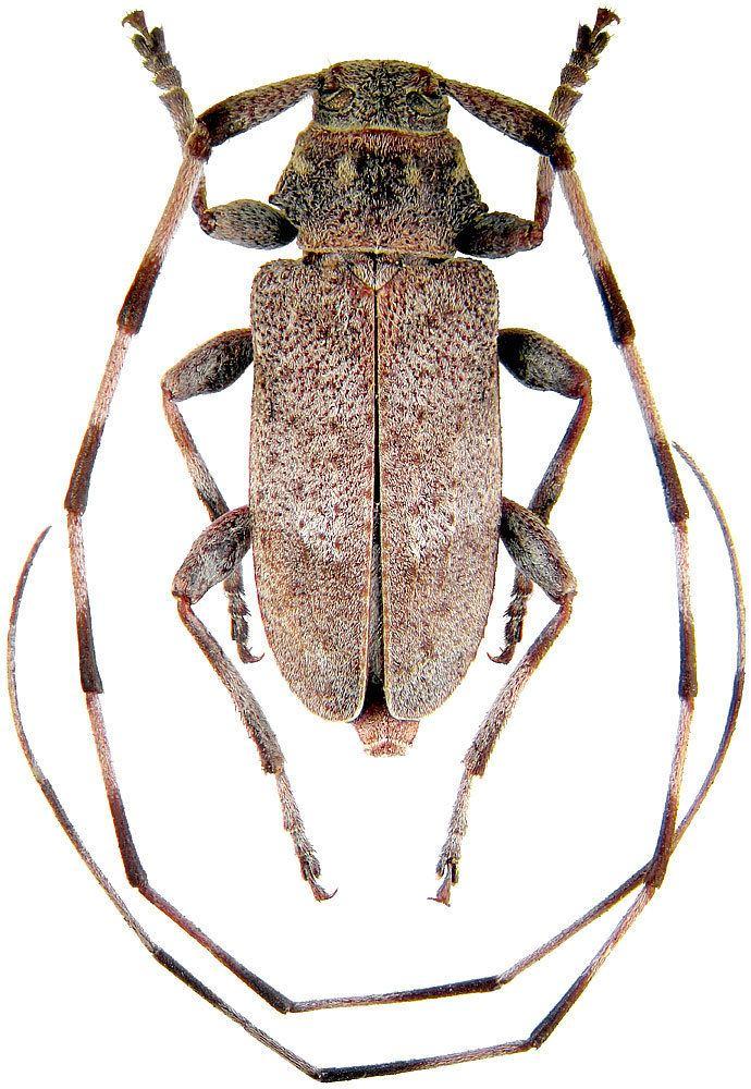 Acanthocinus cerambycidaeorgcerambycidaeAcanthocinus20aedil