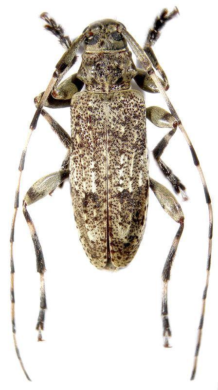 Acanthocinus Genus Acanthocinus Dejean 1821 Cerambycidae