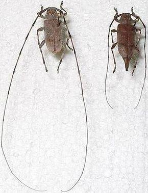 Acanthocinus Acanthocinus Wikipdia