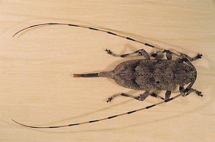 Acanthocinus FileAcanthocinus aedilis 1231153jpg Wikimedia Commons