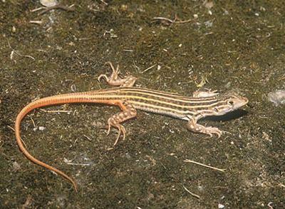 Acanthodactylus Acanthodactylus erythrurus The Reptile Database