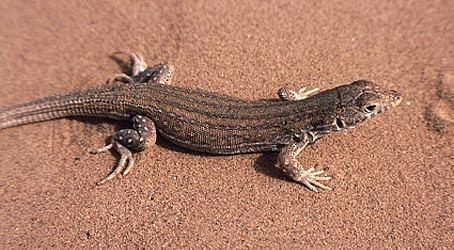 Acanthodactylus Acanthodactylus savignyi AUDOUIN 1827
