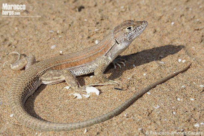 Acanthodactylus Species Page of Acanthodactylus boskianus Amphibians amp Reptiles of