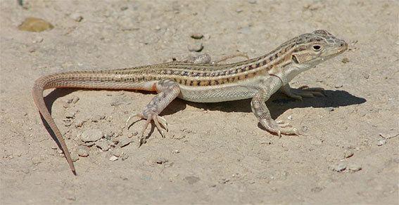 Acanthodactylus erythrurus Herpetofauna of Europe pyrenees and ne spain july 2004