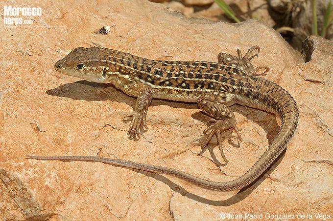 Acanthodactylus erythrurus Ficha de Acanthodactylus erythrurus Anfibios y Reptiles de Marruecos