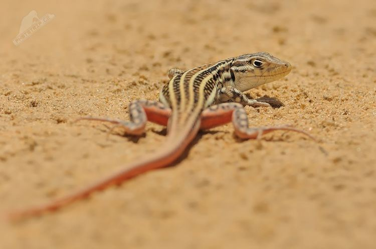 Acanthodactylus erythrurus Acanthodactylus erythrurus Spanish fringetoed lizard Lacerta