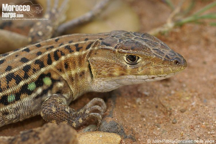 Acanthodactylus erythrurus Galera multimedia fotos y vdeos de Acanthodactylus erythrurus