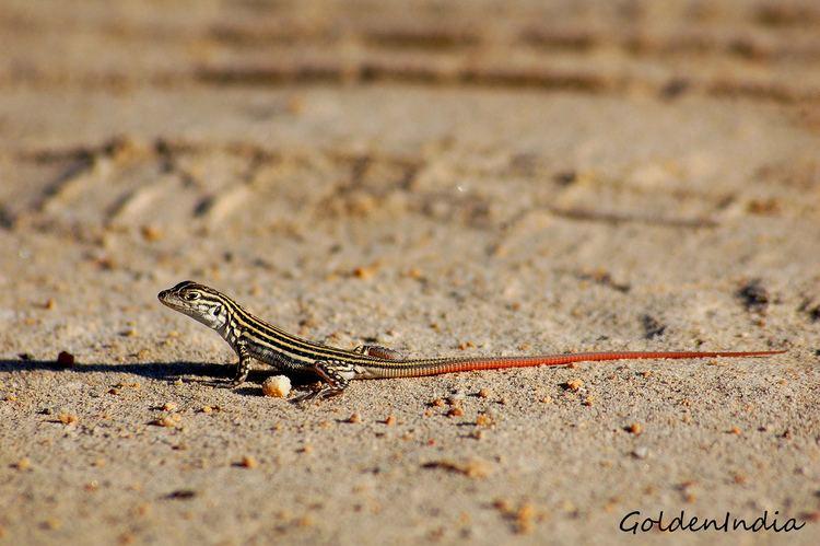 Acanthodactylus erythrurus Lizard Acanthodactylus erythrurus The Redtailed Spinyf Flickr