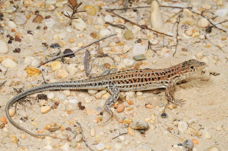 Acanthodactylus httpsuploadwikimediaorgwikipediacommons00