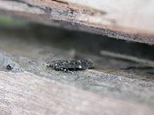 Acanthophila alacella httpsuploadwikimediaorgwikipediacommonsthu