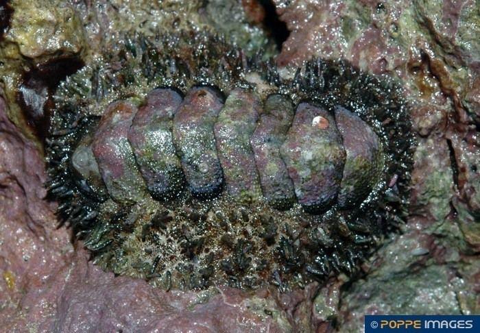 Acanthopleura gemmata httpsstoragegoogleapiscompoppeimagesimages