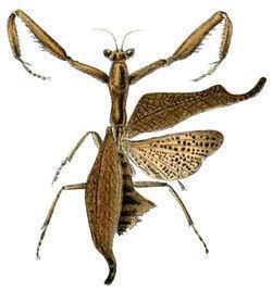 Acanthops falcataria httpsuploadwikimediaorgwikipediacommonsthu