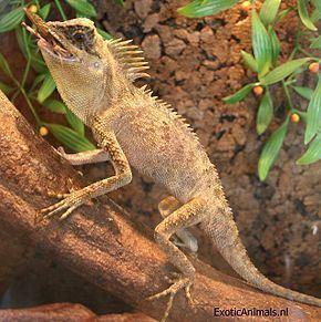 Acanthosaura armata httpsuploadwikimediaorgwikipediacommonsthu
