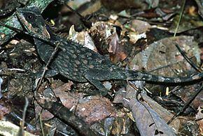 Acanthosaura crucigera httpsuploadwikimediaorgwikipediacommonsthu