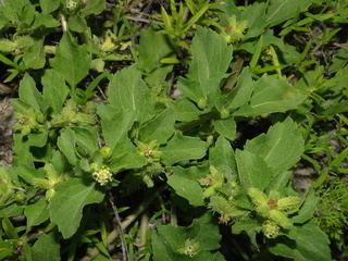 Acanthospermum australe Acanthospermum australe Centrospermum xanthioides Kunth