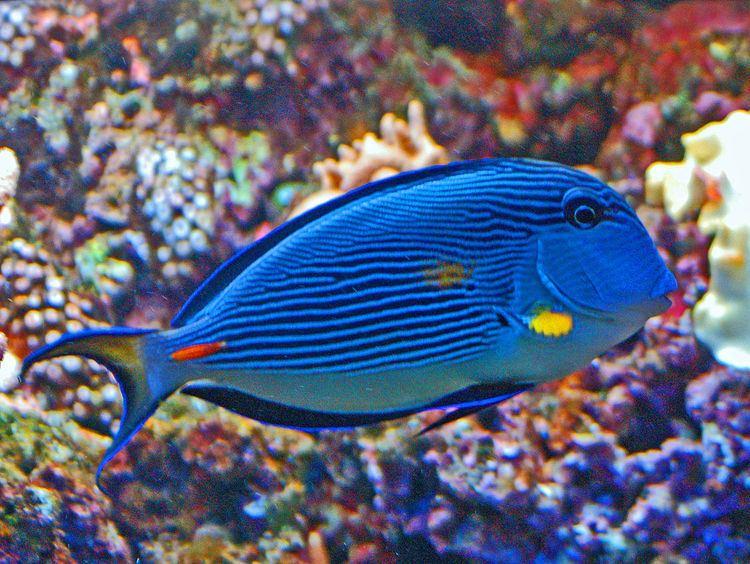 Acanthuridae FileAcanthuridae Acanthurus sohalJPG Wikimedia Commons