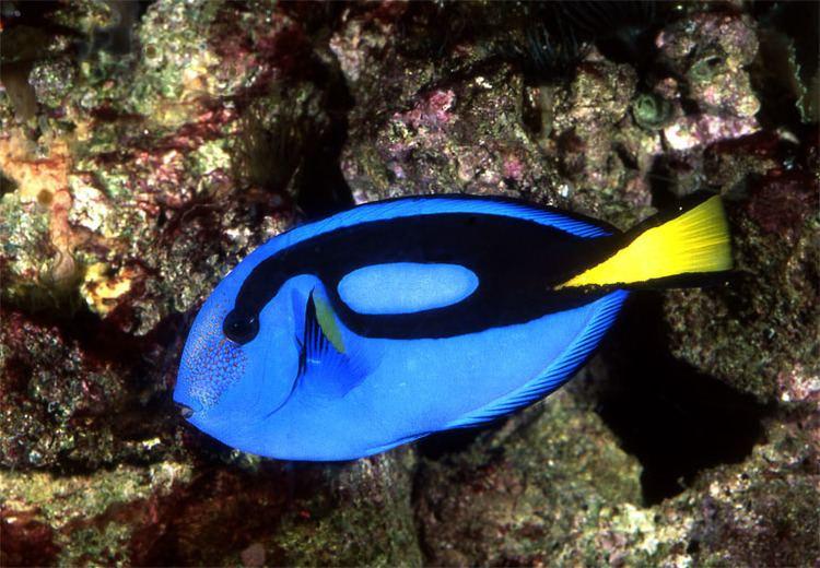 Acanthuridae wwwryanphotographiccomimagesJPEGSParacanthuru
