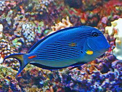 Acanthurinae httpsuploadwikimediaorgwikipediacommonsthu