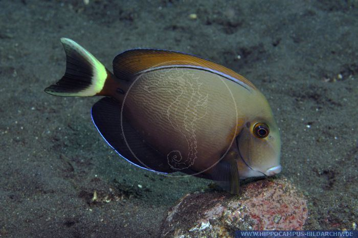Acanthurus bariene Acanthurus bariene alias Blackspot surgeonfish Hippocampus