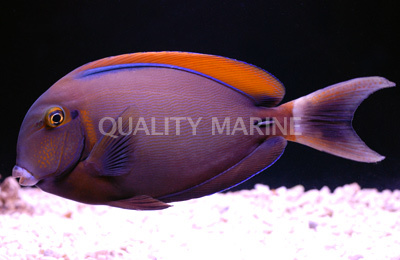 Acanthurus bariene Black Spot Surgeonfish Acanthurus bariene Wild Tangs Quality