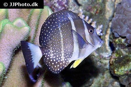 Acanthurus guttatus Whitespotted surgeonfish Acanthurus guttatus in aquarium