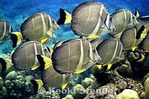 Acanthurus guttatus wwwmarinelifephotographycomfishessurgeonfishes