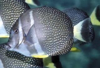 Acanthurus guttatus Acanthurus guttatus Whitespotted Surgeonfish Discover Life