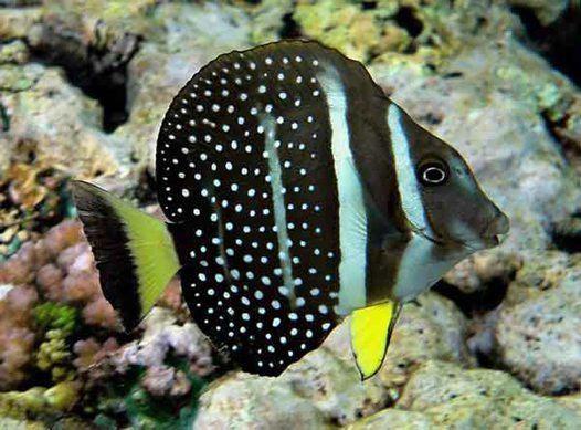 Acanthurus guttatus This week in Fish Farflung fishes Australian Museum