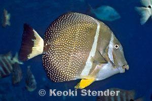 Acanthurus guttatus Whitespotted Surgeonfish Acanthurus guttatus