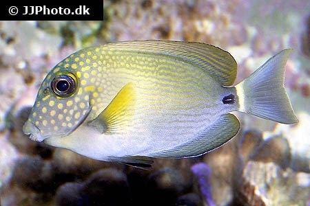 Acanthurus maculiceps Freckled surgeonfish Acanthurus maculiceps in aquarium